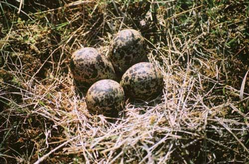 lapwing-nest
