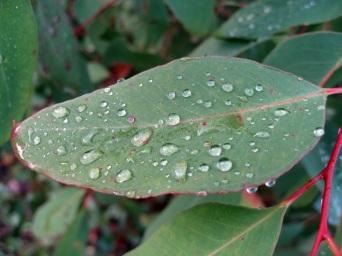 Raindrops on another gumleaf
