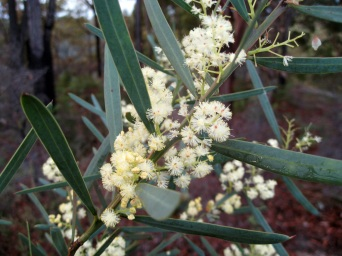 Early Wattle flowers. Probably Acacia suaveolens which usually flowers in Winter.