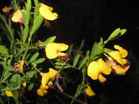 ...otherwise known as Dillwynia sp. (flash used for this photo). Not sure which species this is.