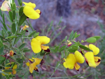 """Dillwynia is a plant genus of the family Fabaceae. They are endemic to Australia, occurring in all states except the Northern Territory. Like many other Dillwynia species, this one has yellow flowers with red centres (commonly called """"egg-and-bacon"""")."""