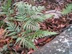 Sacrificial Ferns