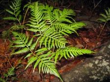Bracken fern (with flash)