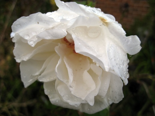 One of the roses in my garden, drooping under the weight of water droplets.