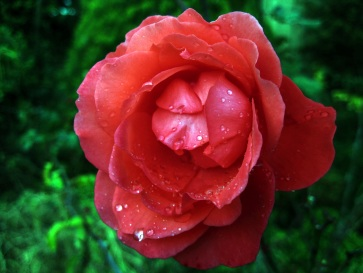 Another of my beautiful roses on this wet, wintery afternoon.