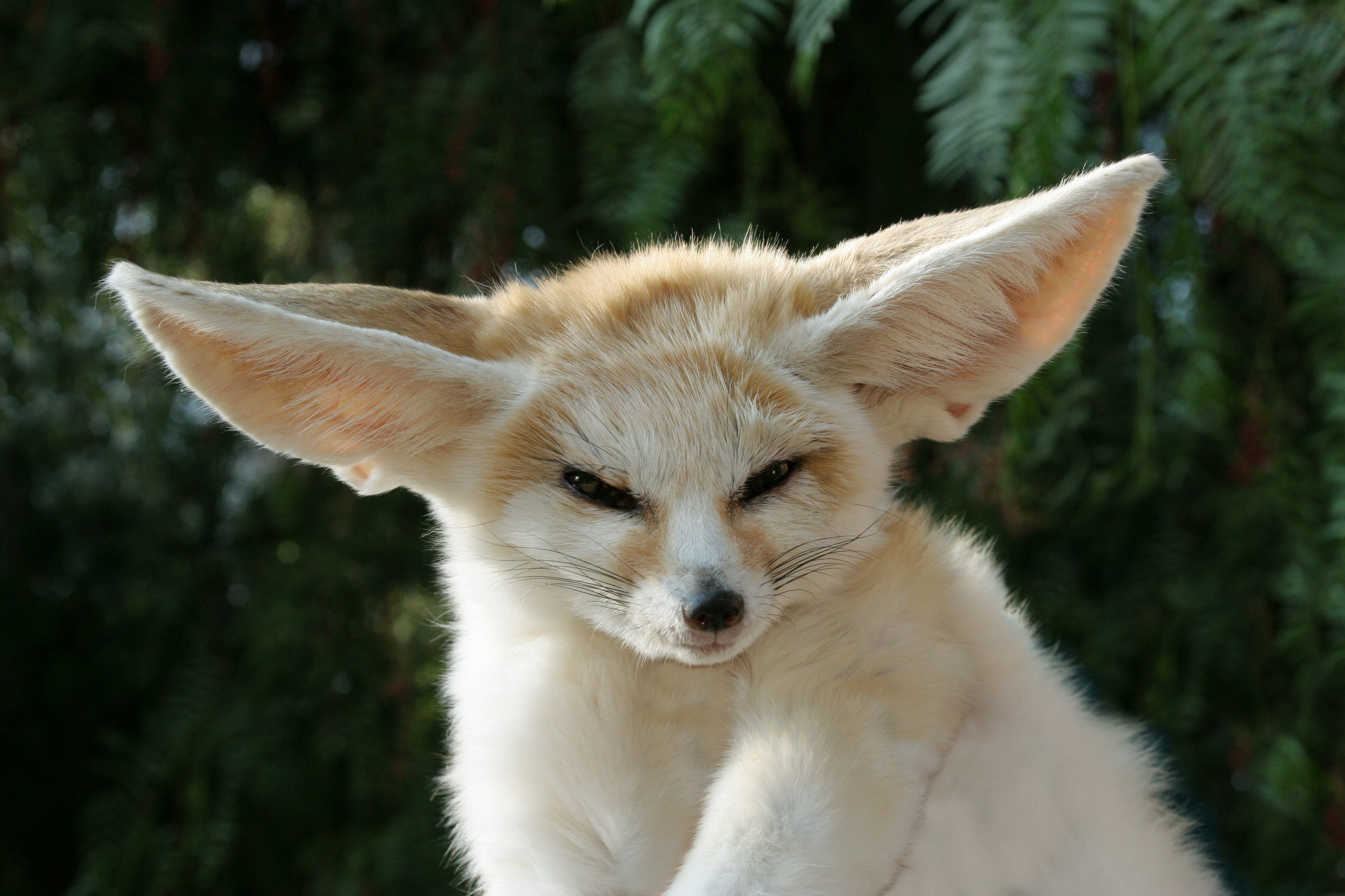 Fox dreaming the other side fennec fox buycottarizona