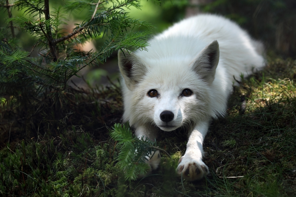 arctic fox cute white - photo #24
