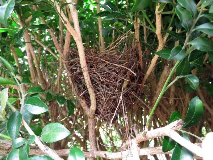 Little Wattlebird nest