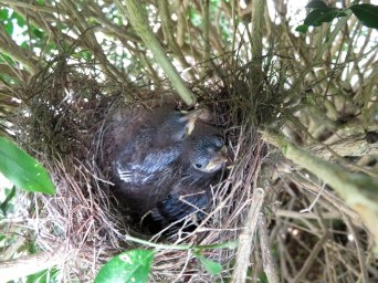 Little Wattlebird nestlings.